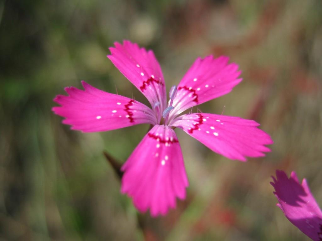 Heidenelke (Dianthus deltoides).