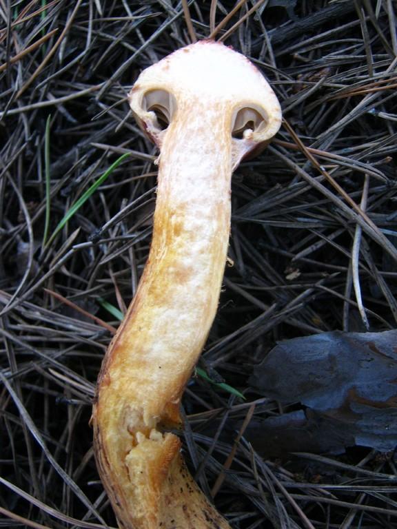 Kupferroter Gelbfuß (Chroogomphus rutilus) im Schnitt.