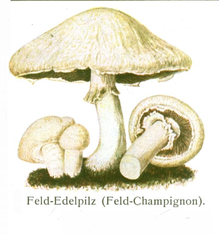 Wiesenchampignon (Agaricus campestris).