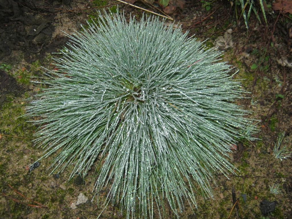 Igelgras (Corynephorus canescens).