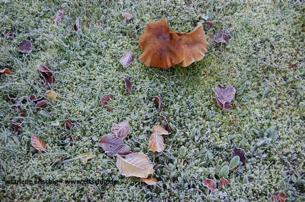 Pilz im Frost | Mushroom in frost. Germany