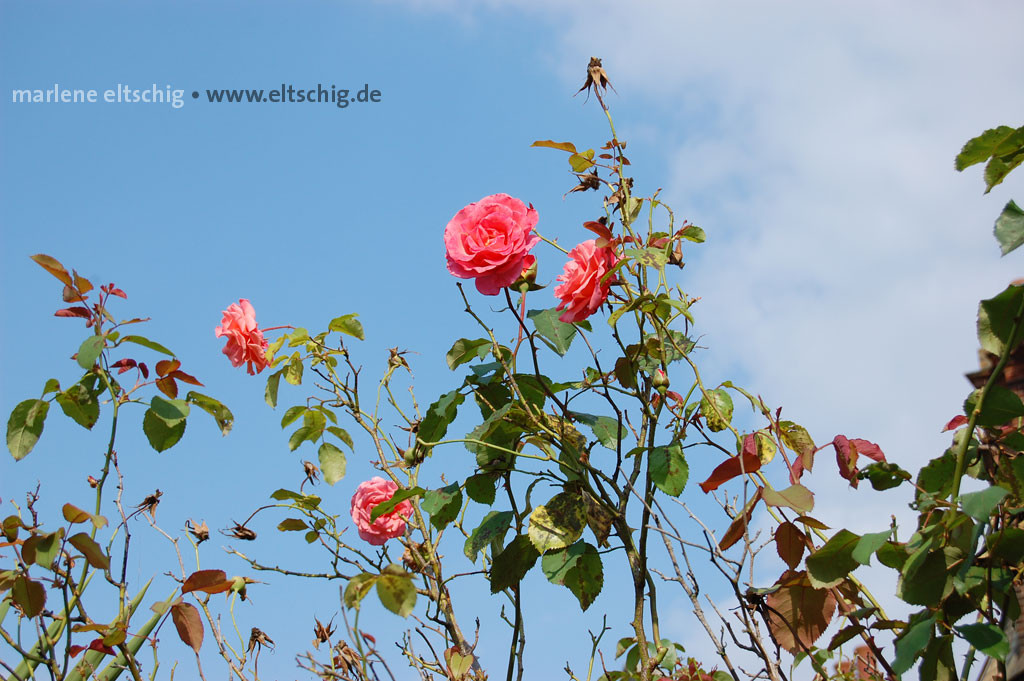 Himmel und Rosen | Sky and roses. UK