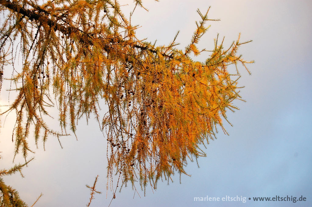 Goldener Lärchenzweig | Golden branch of a larch. Scotland in november