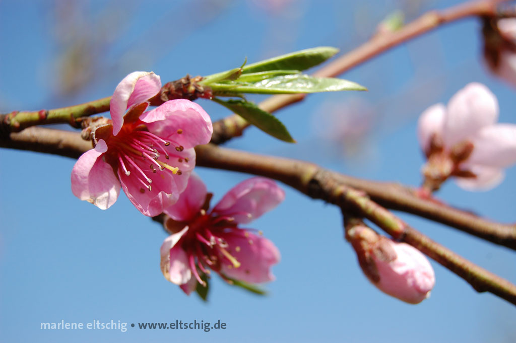 Pfirsichblüten | Peach blossom. Germany