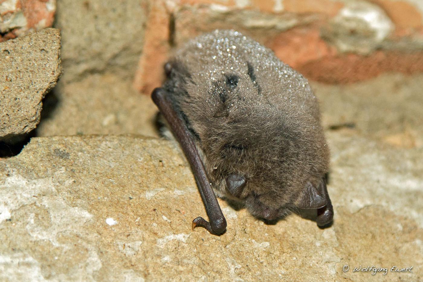 Parkoper - Die Maus mit Perlen im Haar - Wasserfledermaus  - Foto: Wolfgang Ewert
