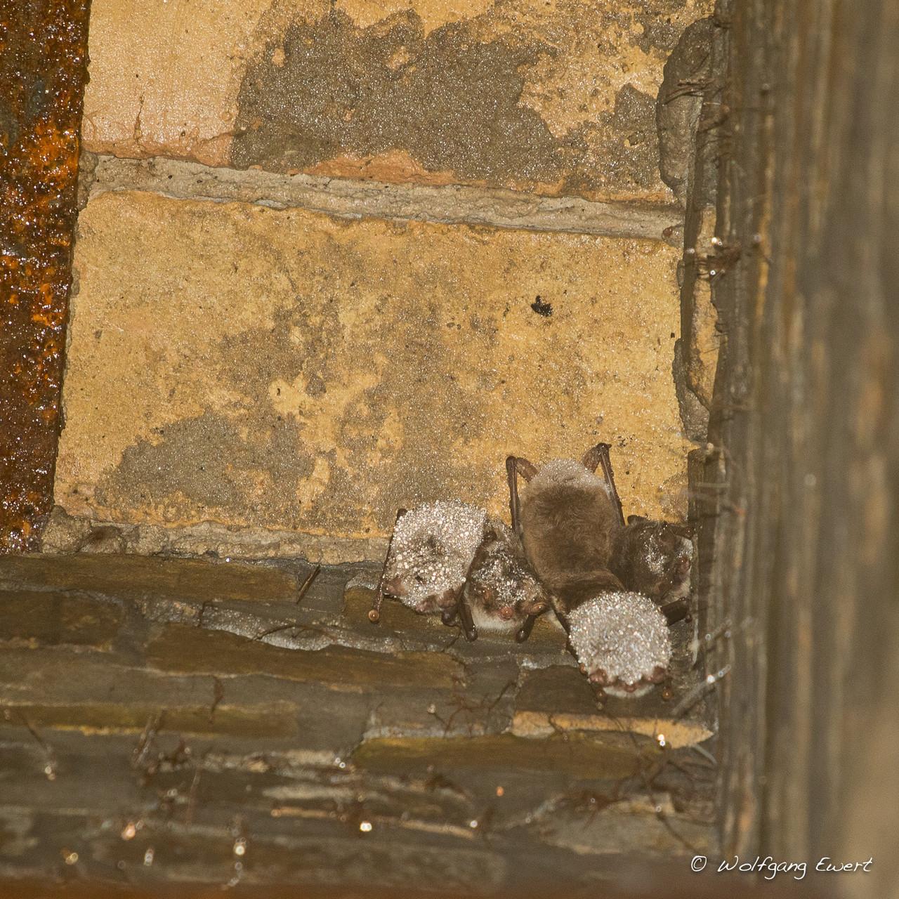 Fledermäuse bereift im Deckenschacht des Eiskellers -- Foto: Wolfgang Ewert