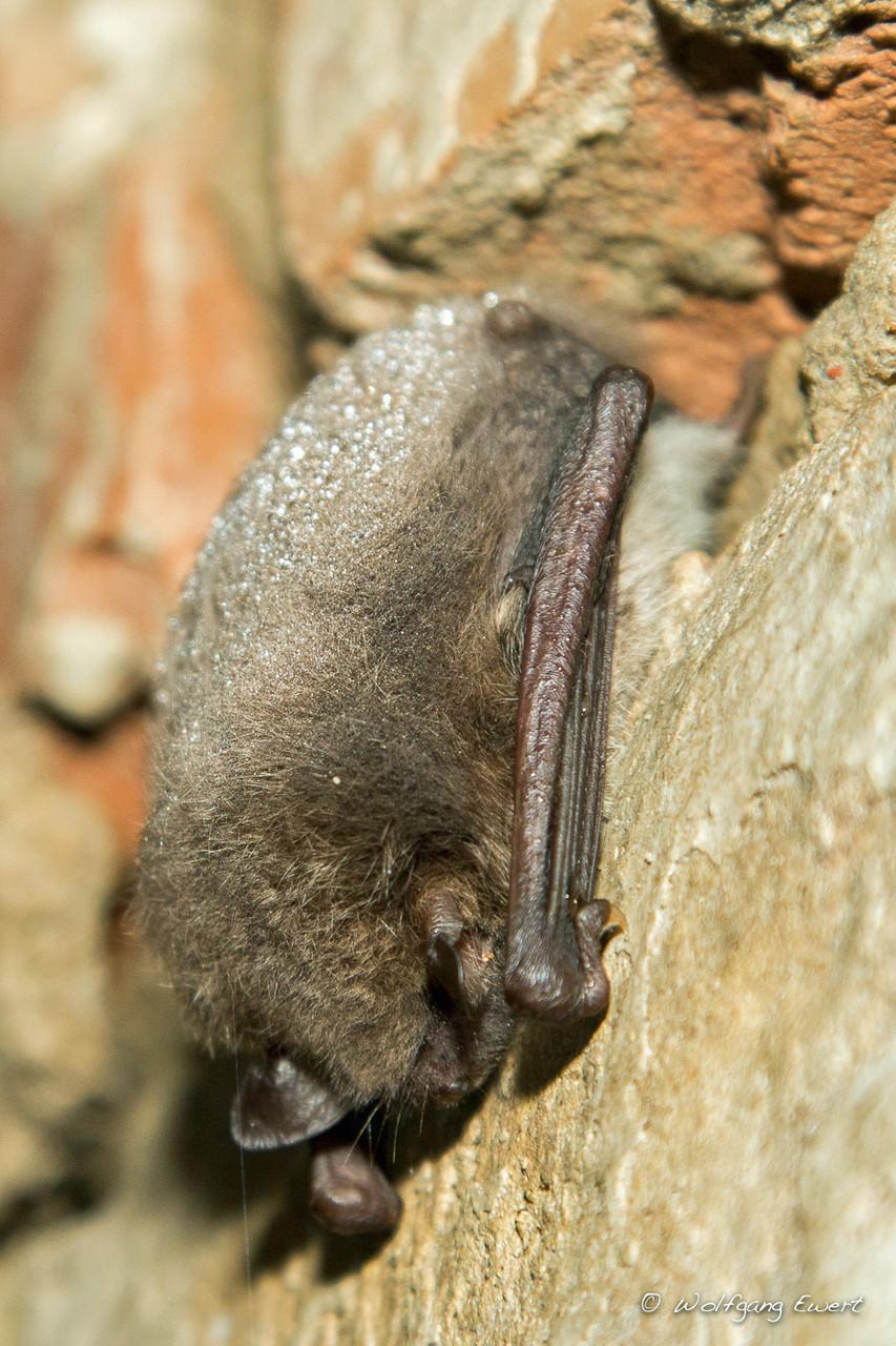 Parkoper - Die Maus mit Perlen im Haar -Wasserfledermaus - Foto: Wolfgang Ewert