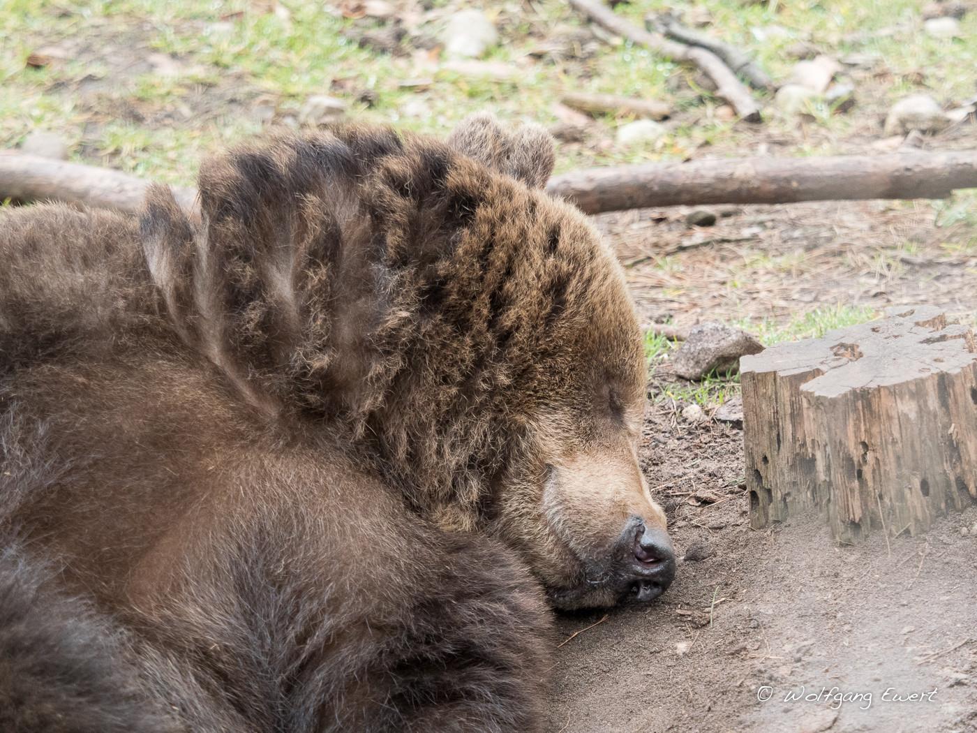 Bär im Tiefschlaf  -- Foto: W. Ewert