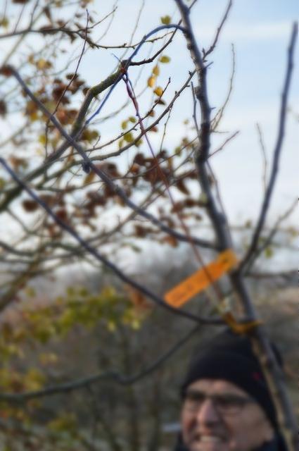 Ergebnis: der Ast steht in der Waagrechten und trägt schneller Früchte / Foto: Matthias Herold