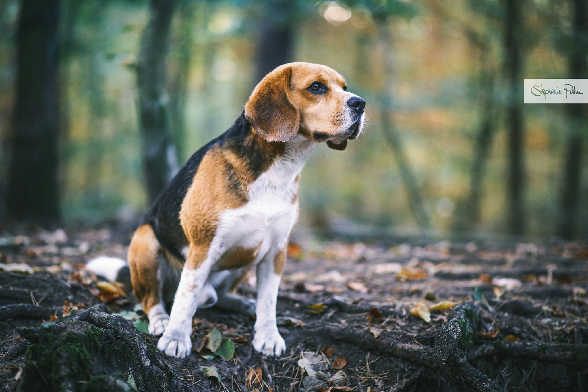 Beagle Paul - Canon EOS 6D + EF 85mm F/1.8
