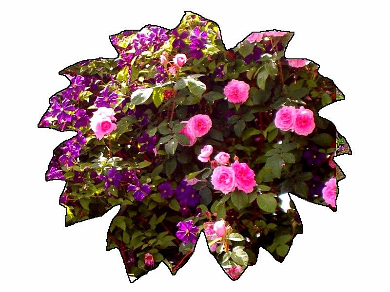 Zärtlich vereint: Clematis&Rosa