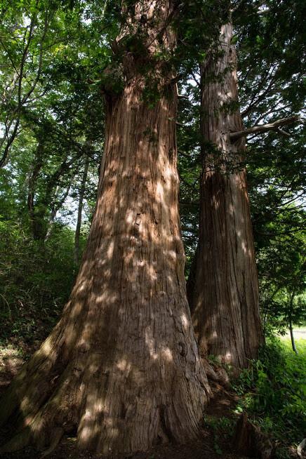 夫婦サワラの木を見学