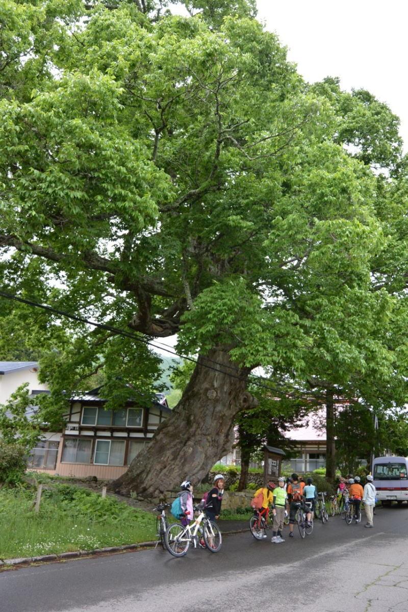 樹齢950年を誇る古木「中山の大ケヤキ」。