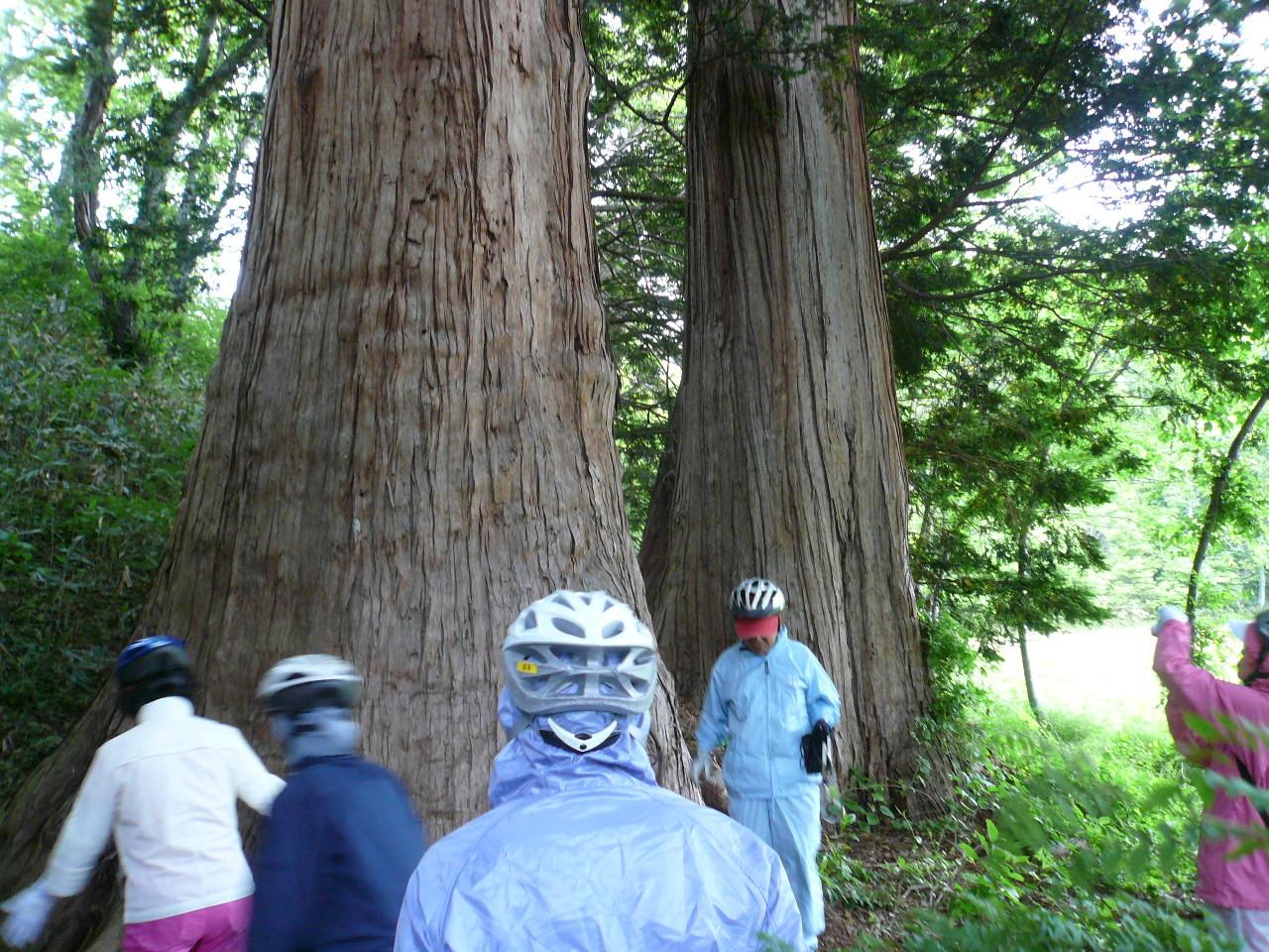夫婦サワラの木