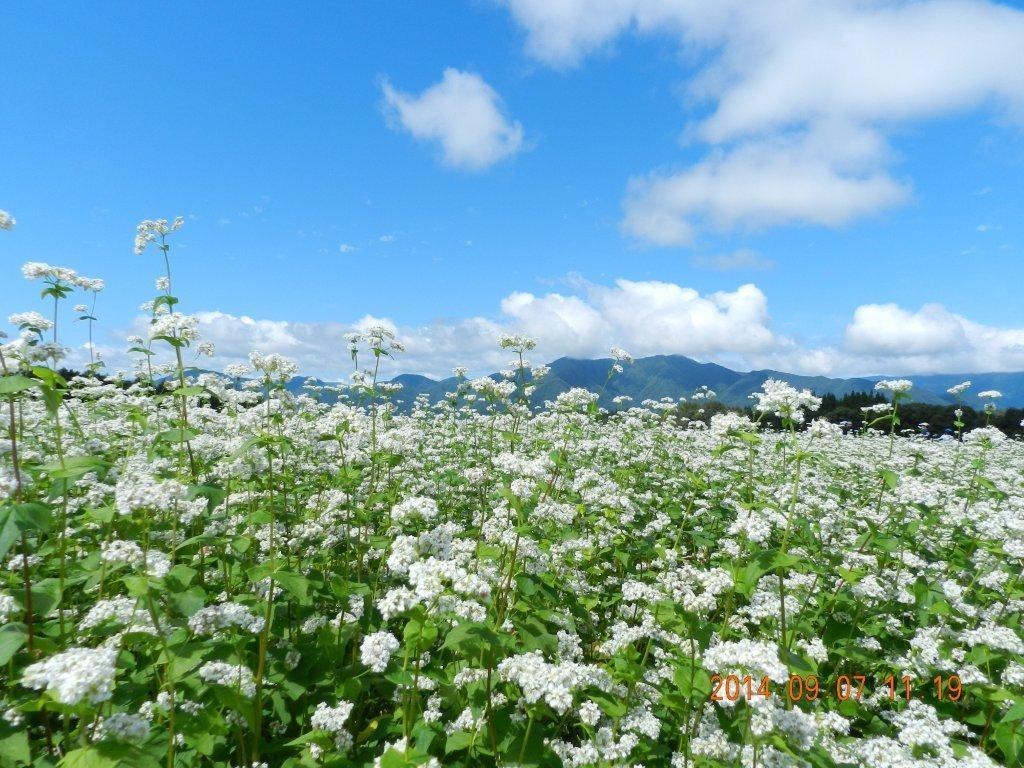 白くてかわいい花です