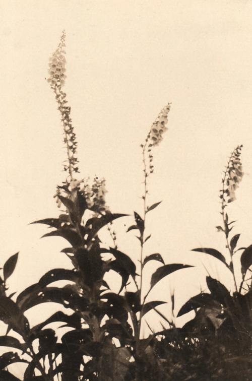 Wildblumen, um 1930