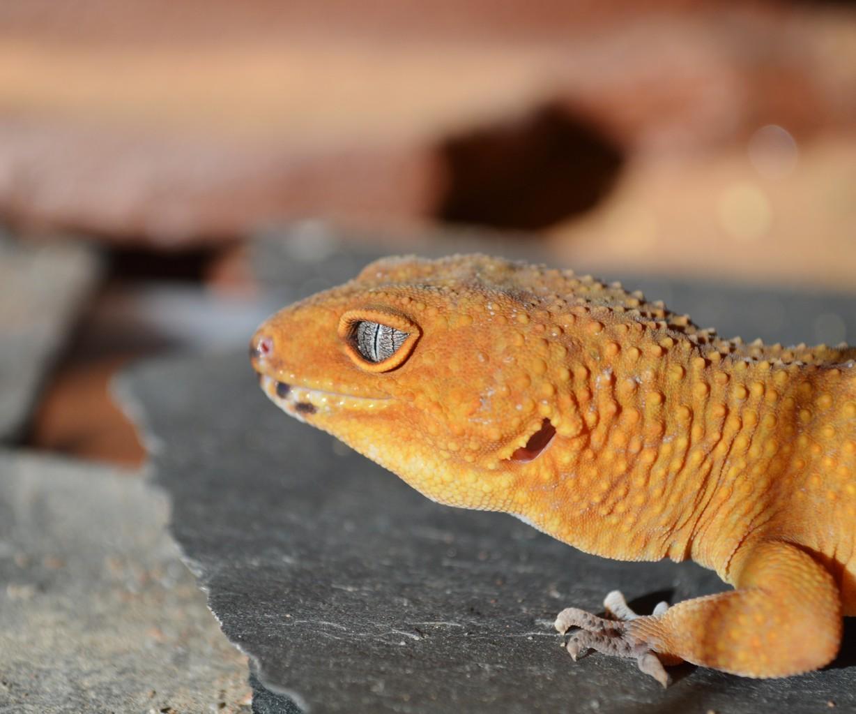 Farb - und Zeichnungsvarianten des Leopardgecko - Hessen
