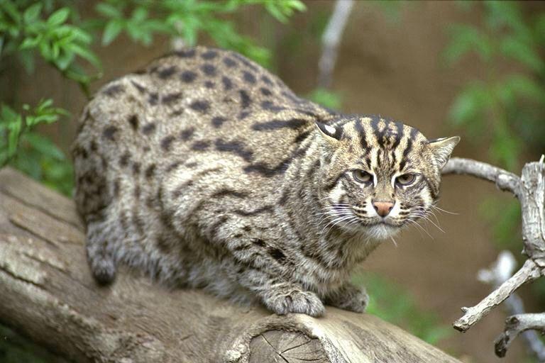 Yamaneko Chat-léopard Iriomote Okinawa