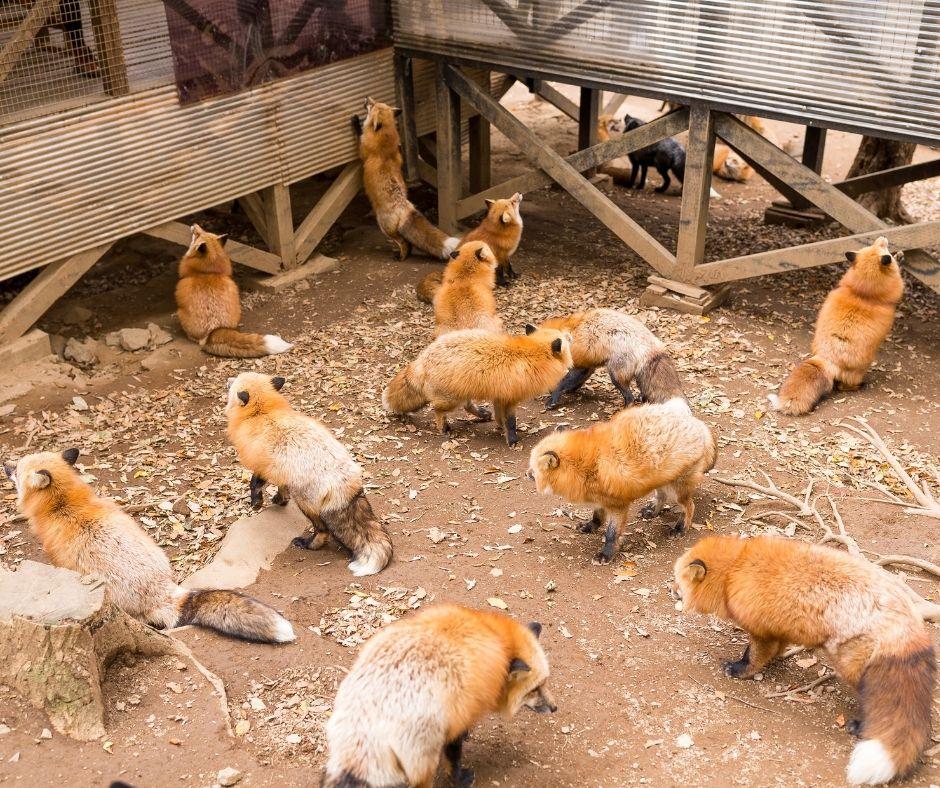 Renard, village renard Japon, Zao fox village