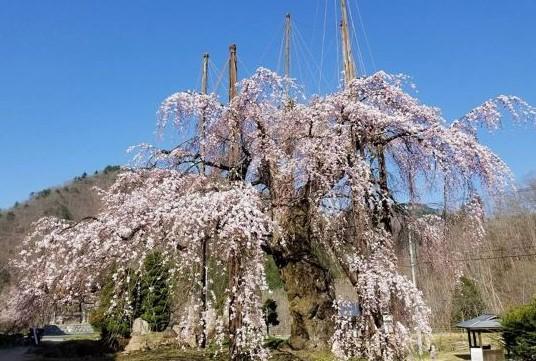 清見町大谷地域の西光寺の枝垂れさくら 撮影者:観光協会職員