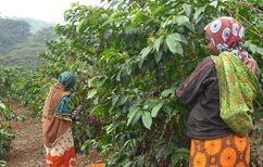 傾斜地や小規模農園では人手による収穫が行われている。