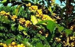 中には黄色い実をつけるものもあります。
