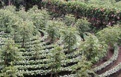 強い日差しを避けるためのシェードツリー。バナナやインガなど各産地でいろいろある。