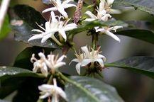 植えられて3年後にコーヒーの木に白い花が咲きます。