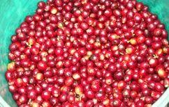 完熟の赤い実だけを摘み取りました。