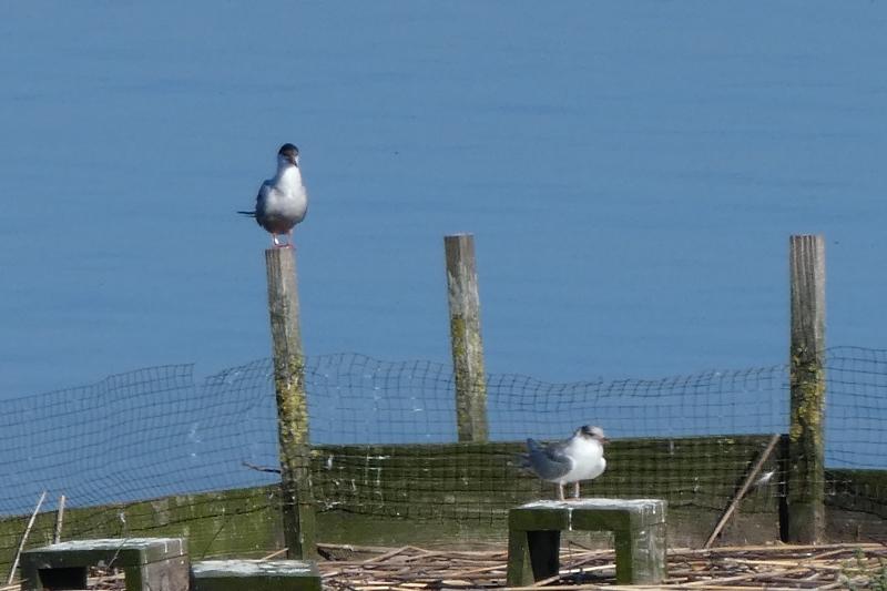 Beringter Alt- und Jungvogel auf Brutfloß (Foto: Andrea Gehrold)