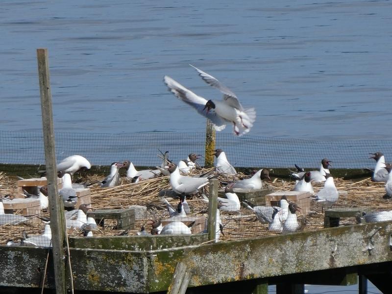 Vogelschutz: Brutgeschehen am Flussseeschwalbenfloß im Starnberger See