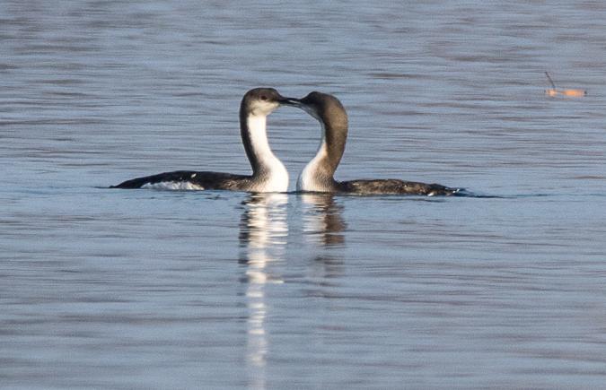 Prachttaucher – regelmäßiger Überwinterer am Starnberger See