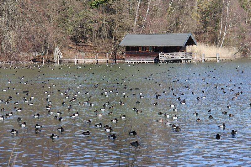 Wasservögel an der Roseninsel im Starnberger See