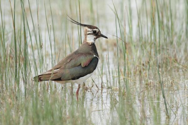 Kiebitz – Brutvogel im Fünfseenland