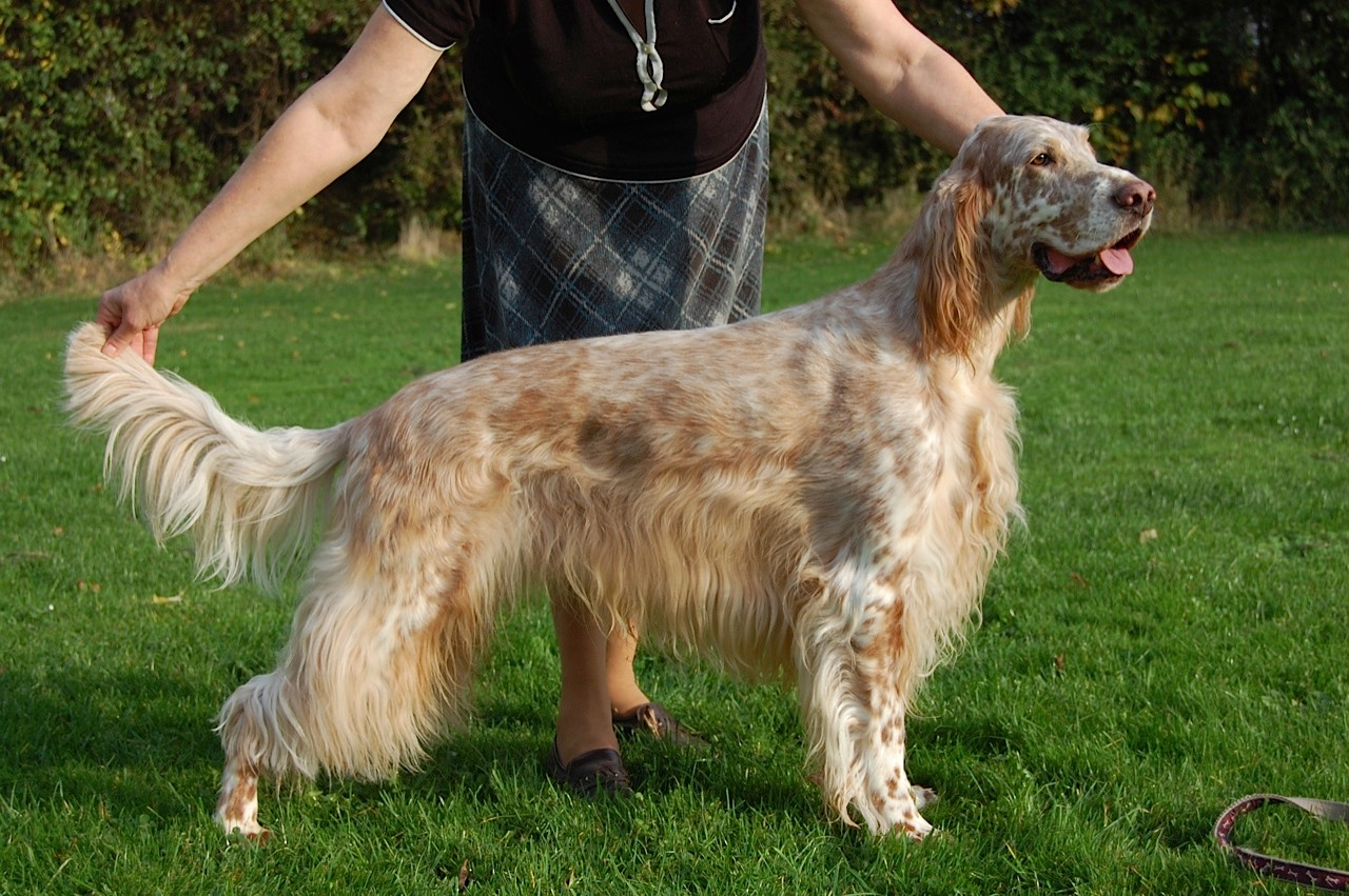 Kanadian Imp. Ch. Sevenoaks Lucky Luke - orange belton