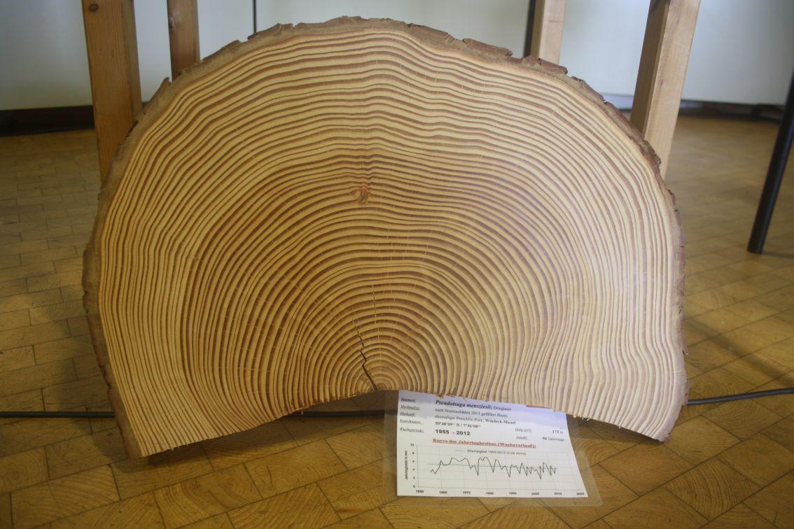 Douglasie wird häufig als neuer Brotbaum gepflanzt - aus Naturschutzsicht sehr umstritten