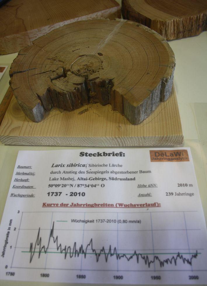Sibirische Lärche, DeLaWi-Jahrringanalytik