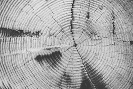 Les couches concentriques d'un tronc d'arbre