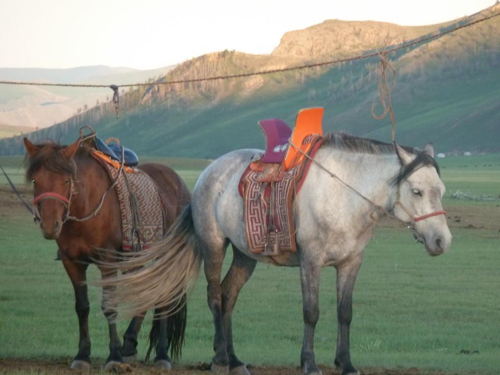Chevaux des guides mongols