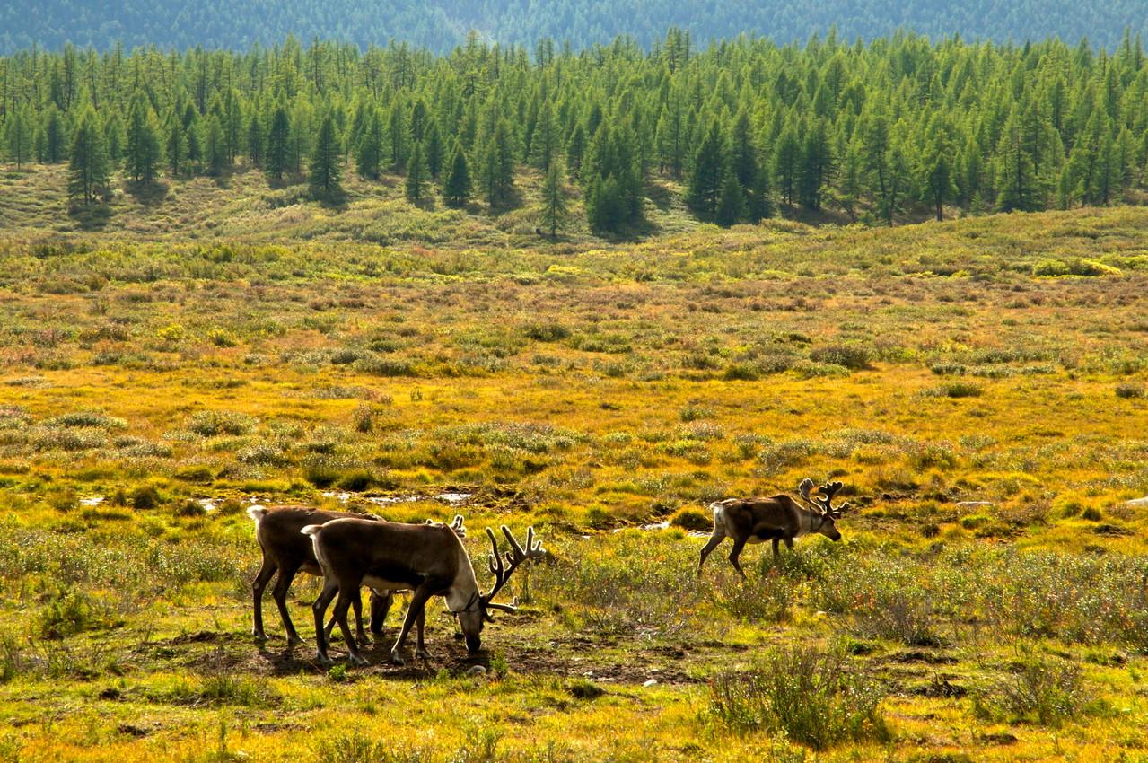 Les Tsaatan vivent du rennes