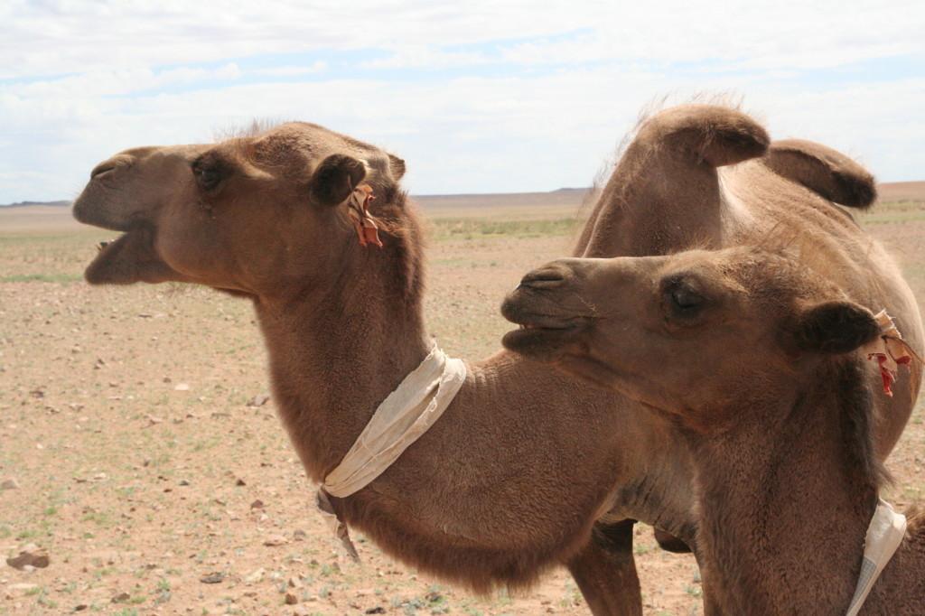 Le chameau du Gobi