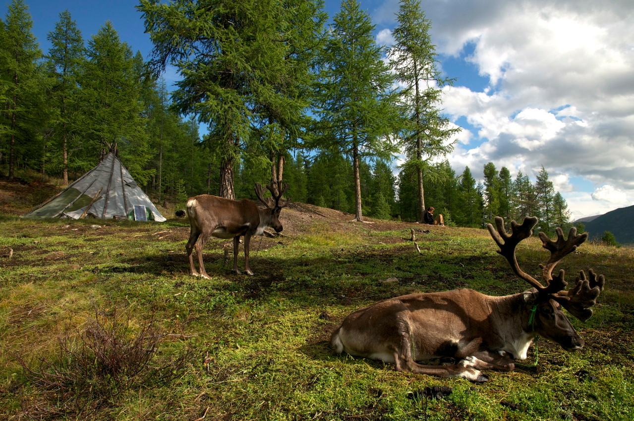 Les Tsaatan élèvent des rennes
