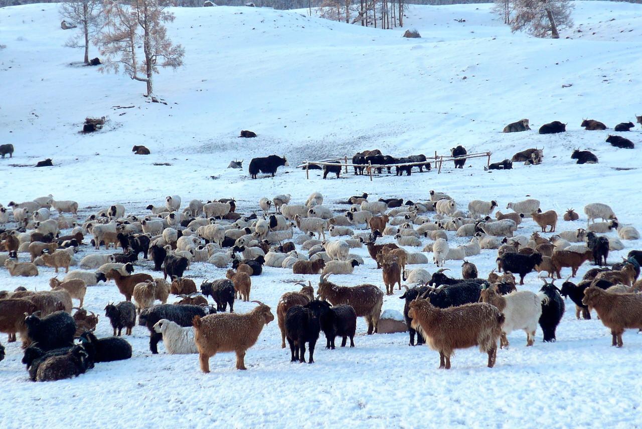 S'occuper du bétail