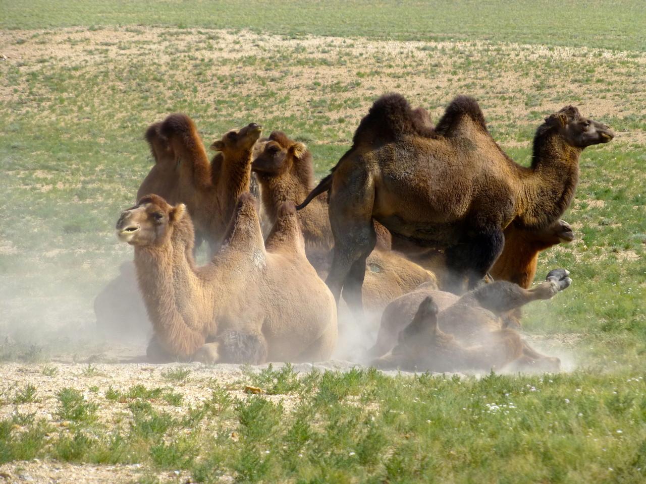 Troupeau de chameaux des steppes mongoles