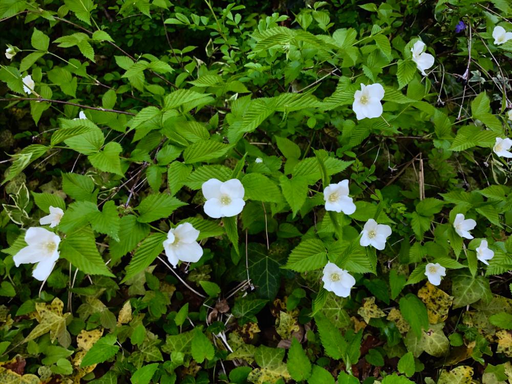 庭の半日陰に咲く白い山吹。