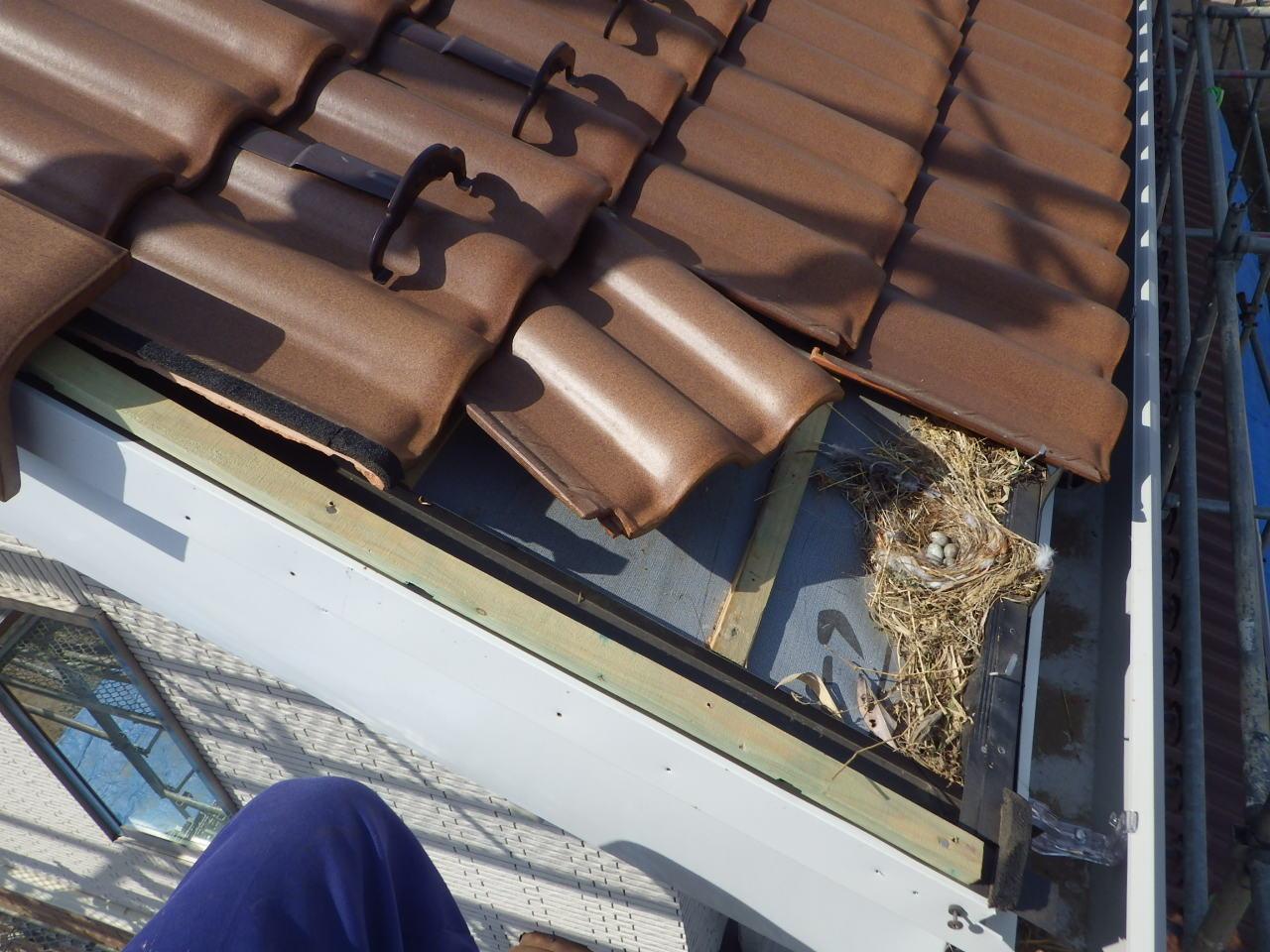 軒面戸の欠落箇所から鳥の出入り in大田原市