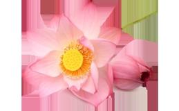 Lotus Extrakt