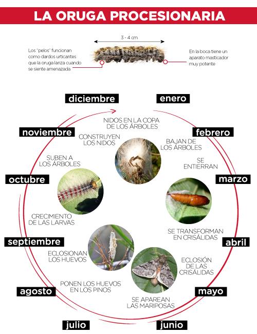 Ciclo biológico de la procesionaria del pino