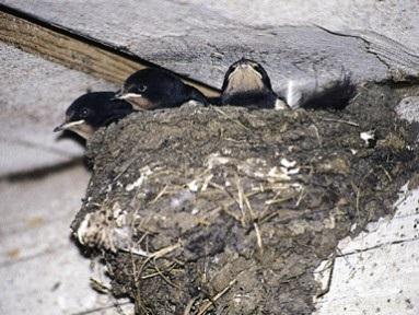 nid d'Hirondelle rustique