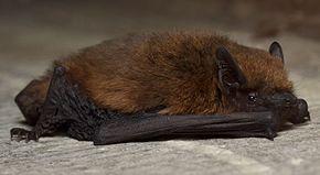 Pipistrelle commune_Gilles SAMARIN wikipédia